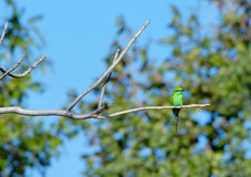 Green Bee Eater. A Little Green Bee Eater sitting on a branch at Pench Tiger reserve in India Royalty Free Stock Images