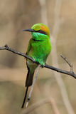 The Green Bee-eater. The Green Bee-eater, Merops orientalis, (sometimes Little Green Bee-eater) is a near passerine bird in the bee-eater family. It is resident Royalty Free Stock Images
