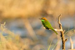 Green Bee-Eater Royalty Free Stock Images