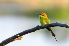 Green Bee-Eater Stock Photo