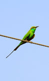 Green bee eater Royalty Free Stock Photos