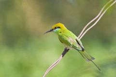 Green Bee Eater Stock Images