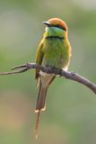 Green Bee Eater Royalty Free Stock Photography