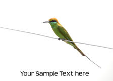 Green bee eater Royalty Free Stock Image