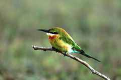 Green bee-eater. A green bee-eater sitting on a branch Stock Photography