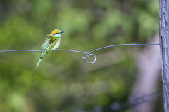 Green bee-eater in Bardia national park, Nepal Stock Photography