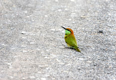 Green Bee-eater. Beautiful bird, Green Bee-eater Merops orientalis Stock Images