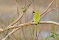 Green Bee Eater with a Bee Stock Photography