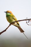 Green Bee Eater Bird Stock Photos
