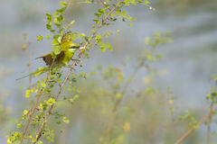 Green bee eater Bird Royalty Free Stock Images