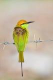 Green bee-eater bird Stock Photo