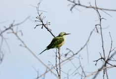 Green bee-eater on a branch Stock Images