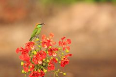 Green Bee-eater. On branches Hold Bee in the mouth royalty free stock images
