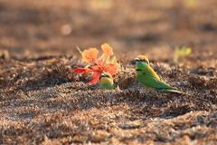 Green Bee-eater Family is on  ground. Green Bee-eater burrow to nest in the ground royalty free stock images