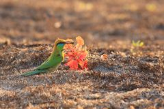 Green Bee-eater. Burrow to nest in the ground royalty free stock image