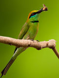 Green bee eater with catch Stock Photography