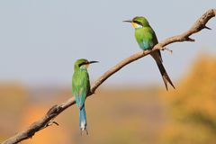 Green Bee-eater - Colorful Bird Background - Composition of Friends. A pair of Green, or European Bee-eaters pose perched on a branch.  As seen in the wilds of Stock Images