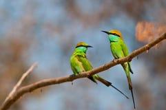 Green Bee Eater couple Stock Photos