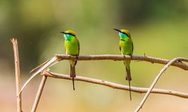 Green bee eater couple on branch stock images
