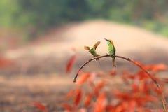 Green Bee-eater family stock photos