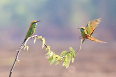 Green Bee-eater On  small branch. Green Bee-eater family on branches in breeding season stock images