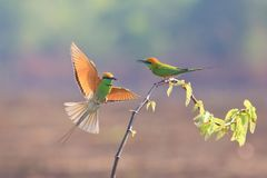 Green Bee-eater On  small branch. Green Bee-eater family on branches in breeding season royalty free stock photos