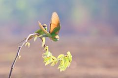 Green Bee-eater take off. Green Bee-eater family on branches in breeding season royalty free stock photos