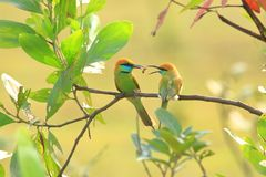 Green Bee-eater. Family on branches in breeding season royalty free stock photos
