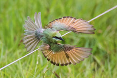 Green bee eater in flight Stock Photography