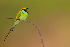 Green bee eater with insect Royalty Free Stock Photo