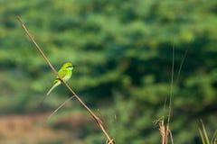 Green Bee - eater (Merops orientalis) Stock Image