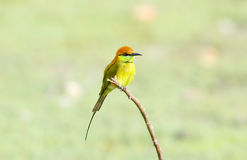 Green Bee-eater Merops orientalis Stock Images
