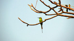 Green bee-eater. (Merops orientalis)The green bee-eater is a near passerine bird in the bee-eater family. It is resident but prone to seasonal movements and is Stock Images