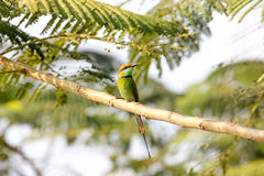 Green Bee-eater Merops orientalis. Perching on a branch Stock Image