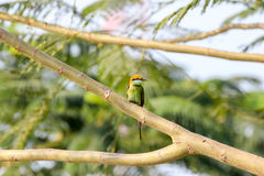 Green Bee-eater Merops orientalis. Perching on a branch Stock Photography