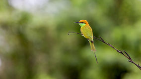 Green Bee-eater Merops orientalis. Perching on a branch Royalty Free Stock Images