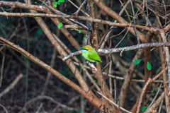 Green bee-eater or Merops orientalis Stock Photos