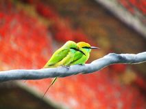 The green bee-eater bird Merops orientalis sometimes little green bee-eater is a near passerine bird in the bee-eater family. royalty free stock images