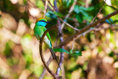 The Green Bee-eater or Merops orientalis Stock Image