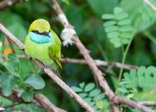 Green Bee-Eater Merops orientalis Stock Images