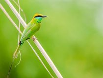 Green Bee-Eater - Birds of Pakistan. The green bee-eater is a near passerine bird in the bee-eater family. It is resident but prone to seasonal movements and is royalty free stock photos