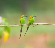 Green Bee Eater On A Barbed Wire Fence. Stock Images
