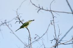 Green bee-eater perched on branch with prey Royalty Free Stock Images