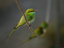 Green bee eater perched on electricity wire Royalty Free Stock Images