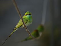 Green bee eater perched on electricity wire looking into camera Royalty Free Stock Images