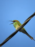 Green bee eater is perched on electricity wire with open mouth Stock Photos