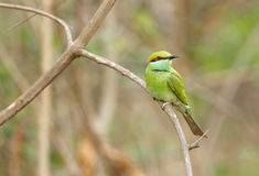 Green bee-eater perched on a  tree Stock Photos