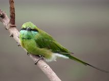 Green Bee Eater perched on twig Royalty Free Stock Photography