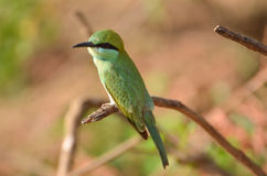 Green Bee Eater Royalty Free Stock Photo