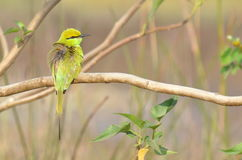 Green Bee Eater Perching on a Plant Stock Photos